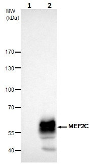 Immunoprecipitation - Anti-MEF2C antibody (ab227085)