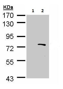 Western blot - Anti-BS69 antibody (ab227086)