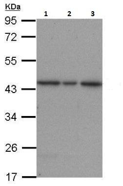 Western blot - Anti-ERK2 antibody (ab227089)