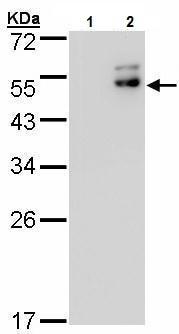 Western blot - Anti-DPF2/REQ antibody (ab227095)
