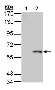 Western blot - Anti-FPGS antibody (ab227099)