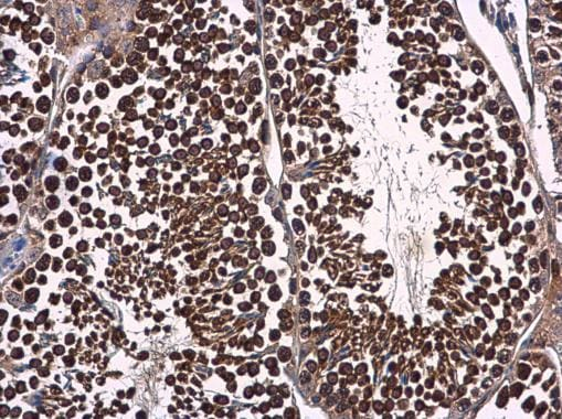 Immunohistochemistry (Formalin/PFA-fixed paraffin-embedded sections) - Anti-p23 antibody (ab227106)