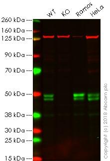 Western blot - Anti-RUNX3 antibody [EPR20687] - BSA and Azide free (ab227125)