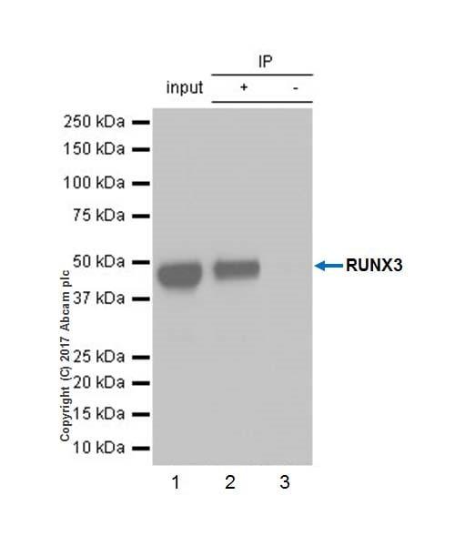 Immunoprecipitation - Anti-RUNX3 antibody [EPR20687] - BSA and Azide free (ab227125)