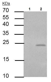 Immunoprecipitation - Anti-PUMA antibody - C-terminal (ab227130)