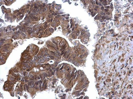Immunohistochemistry (Formalin/PFA-fixed paraffin-embedded sections) - Anti-ERK2 antibody (ab227134)