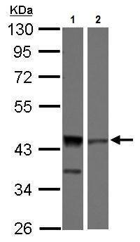 Western blot - Anti-ICAD antibody (ab227137)