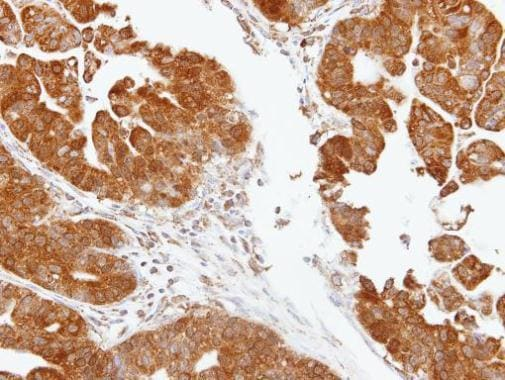 Immunohistochemistry (Formalin/PFA-fixed paraffin-embedded sections) - Anti-TDP1 antibody (ab227144)