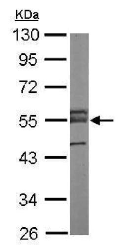 Western blot - Anti-ERG antibody (ab227148)