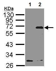 Western blot - Anti-NET1 antibody - C-terminal (ab227169)