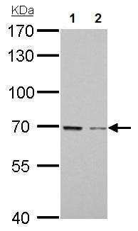 Western blot - Anti-GAS 6 antibody (ab227174)