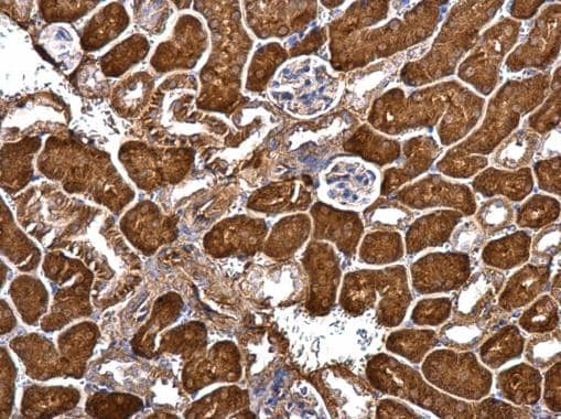 Immunohistochemistry (Formalin/PFA-fixed paraffin-embedded sections) - Anti-GRIP1 antibody (ab227199)
