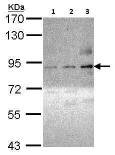 Western blot - Anti-PKC theta/PRKCQ (phospho S695) antibody (ab227200)