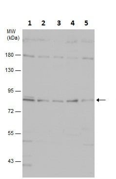 Western blot - Anti-PI 3 Kinase p85 alpha antibody (ab227204)