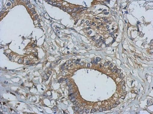 Immunohistochemistry (Formalin/PFA-fixed paraffin-embedded sections) - Anti-Bcl10 antibody (ab227206)