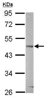 Western blot - Anti-GSK3 beta antibody (ab227208)