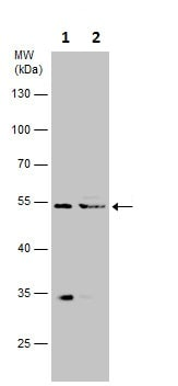 Western blot - Anti-TAB1 antibody (ab227210)