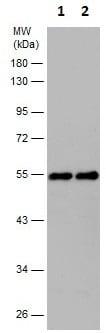 Western blot - Anti-CtBP1 antibody (ab227212)