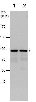 Western blot - Anti-CKAP2/LB1 antibody (ab227214)