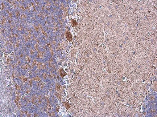 Immunohistochemistry (Formalin/PFA-fixed paraffin-embedded sections) - Anti-Grp75/MOT antibody (ab227215)