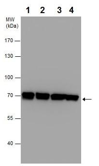 Western blot - Anti-Grp75/MOT antibody (ab227215)