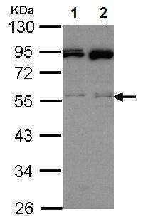 Western blot - Anti-JNK2 antibody (ab227217)
