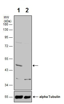 Western blot - Anti-CNPase antibody (ab227218)