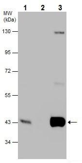 Immunoprecipitation - Anti-PBK/SPK antibody (ab227239)
