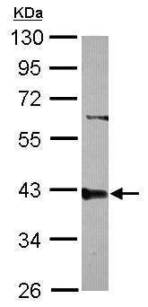 Western blot - Anti-PPP2R4 antibody (ab227243)