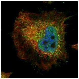 Immunocytochemistry/ Immunofluorescence - Anti-PPP2R4 antibody (ab227243)