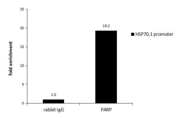 ChIP - Anti-PARP1 antibody (ab227244)