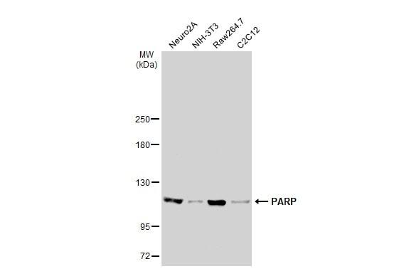 Western blot - Anti-PARP1 antibody (ab227244)