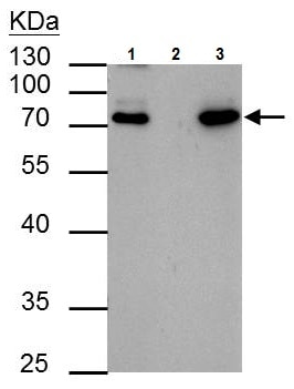 Immunoprecipitation - Anti-HCLS1 antibody (ab227247)