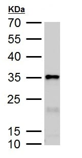 Western blot - Anti-Galectin 3 antibody (ab227249)