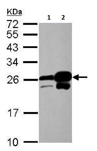 Western blot - Anti-HP1 alpha antibody (ab227253)