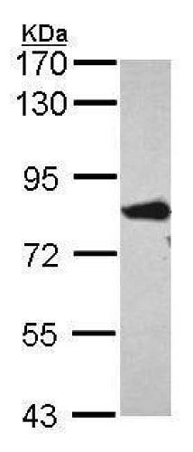 Western blot - Anti-FACL4 antibody (ab227256)