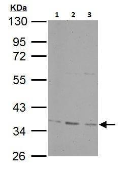 Western blot - Anti-PP-X antibody (ab227267)
