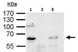 Immunoprecipitation - Anti-YY1 antibody (ab227269)