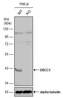Western blot - Anti-ERCC1 antibody (ab227286)