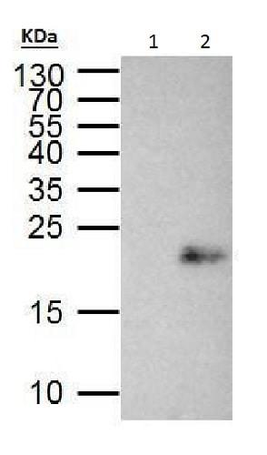 Immunoprecipitation - Anti-MAX antibody (ab227298)