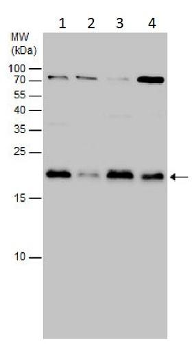 Western blot - Anti-MAX antibody (ab227298)