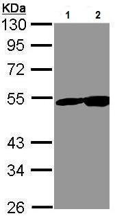 Western blot - Anti-NSE antibody (ab227301)