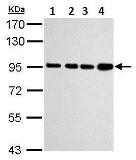 Western blot - Anti-Calnexin antibody (ab227310)