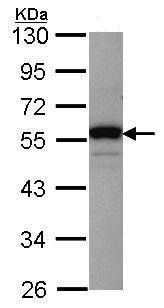 Western blot - Anti-RbAp48 antibody (ab227311)