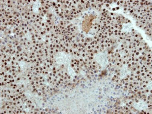 Immunohistochemistry (Formalin/PFA-fixed paraffin-embedded sections) - Anti-RbAp48 antibody (ab227311)