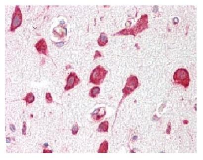 Immunohistochemistry (Formalin/PFA-fixed paraffin-embedded sections) - Anti-RPL30 antibody (ab227382)