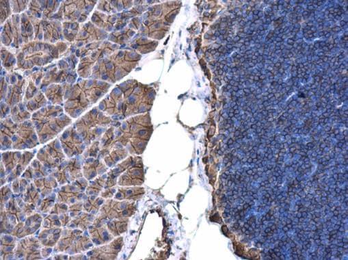 Immunohistochemistry (Formalin/PFA-fixed paraffin-embedded sections) - Anti-beta Actin antibody (ab227387)