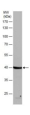 Western blot - Anti-beta Actin antibody (ab227387)