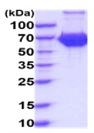 SDS-PAGE - Recombinant Human CD127 protein (Tagged) (ab227399)