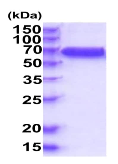 SDS-PAGE - Recombinant Human IL-10RB/IL-10R2 protein (Fc Chimera His Tag) (ab227419)